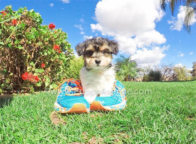 Cutest Parti Morkie Designer Puppy // Maltese x Parti Yorkie