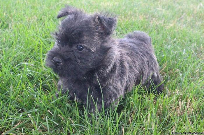 Daisee Cairn Terrier in Canton, Ohio | CannonAds com