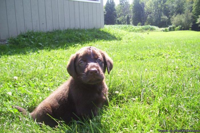 Dans Kennel/Labrador Retriever