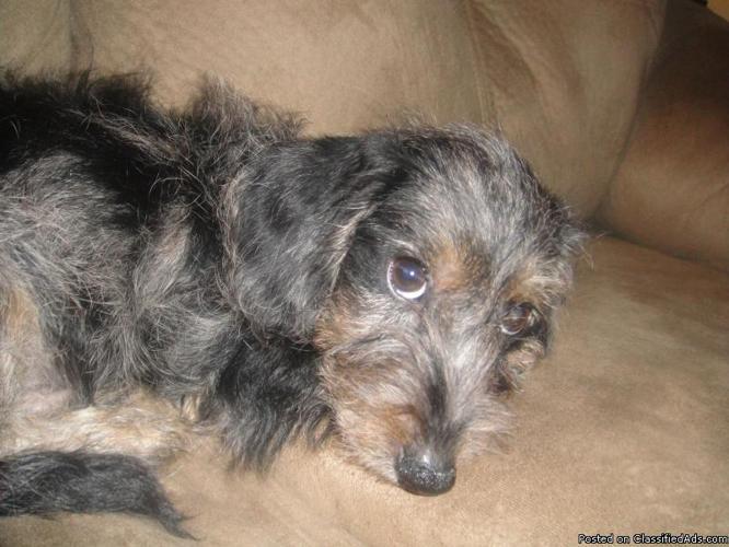 Dapple Dachshund/Poodle Mix - Price: $175 for Sale in Festus, Missouri