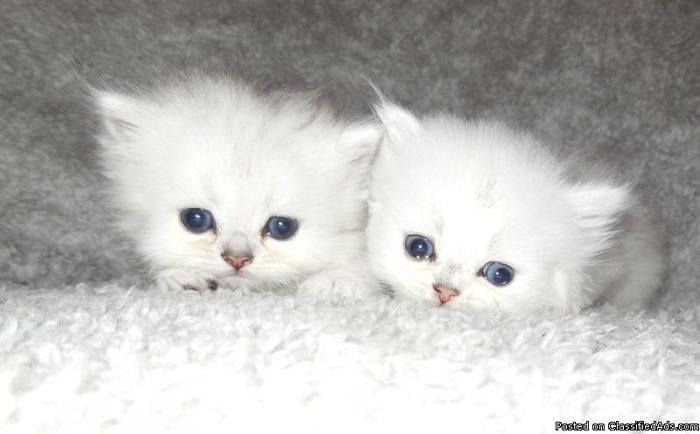 Doll Face teacup Persian Kittens CFA in Bunnell, Florida | CannonAds.com