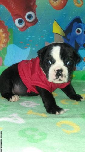 English Bulldog Male Panda