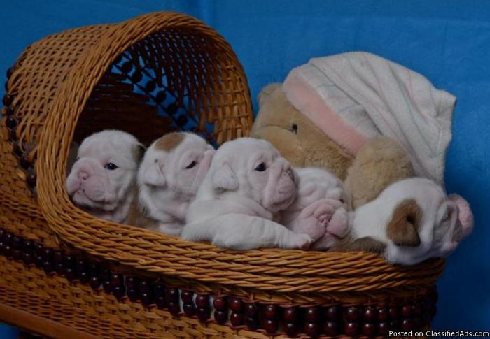 English Bulldog Puppies~Grand Champion Sired~International Champion Pedigree - Price: 2300.00