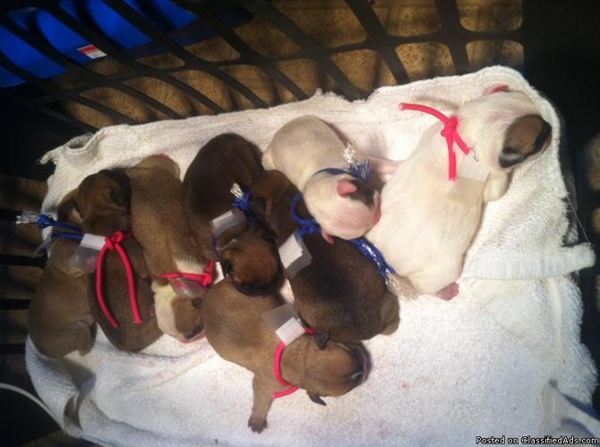 Englishfrench Bulldog Hybrids Puppies In Quitman Georgia