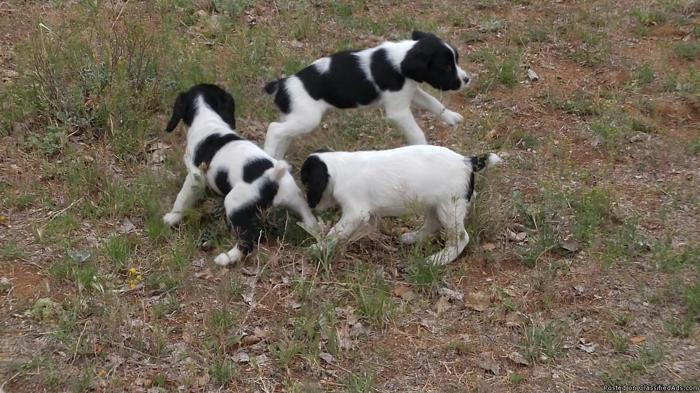 English Springer Spaniel Puppies in Chino Valley, Arizona