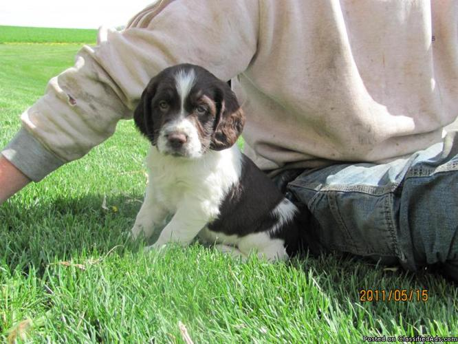 English Springer Spaniel puppies - Price: $300 in Wonewoc