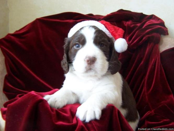 English Springer Spaniels for Xmas