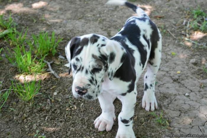 European Great Dane Pups May 3rd
