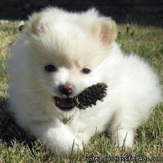 extremely beautiful Pomeranian puppies available
