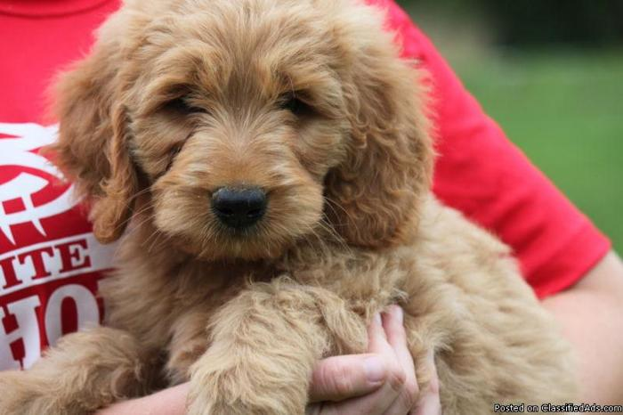 F1B Goldendoodle Puppies ! ! GIRL ! ! in Lake Mills, Wisconsin