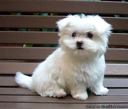 *** Fantastic Maltese puppies,wish to go to a new Family.
