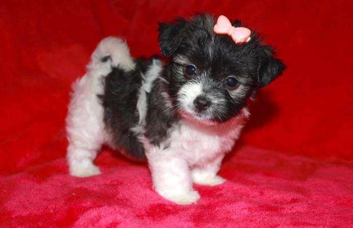 Female morkie/yorktese designer puppy