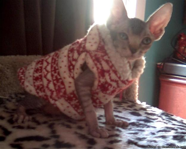 female spyhnx kitten for sale not spayed. - Price: 700