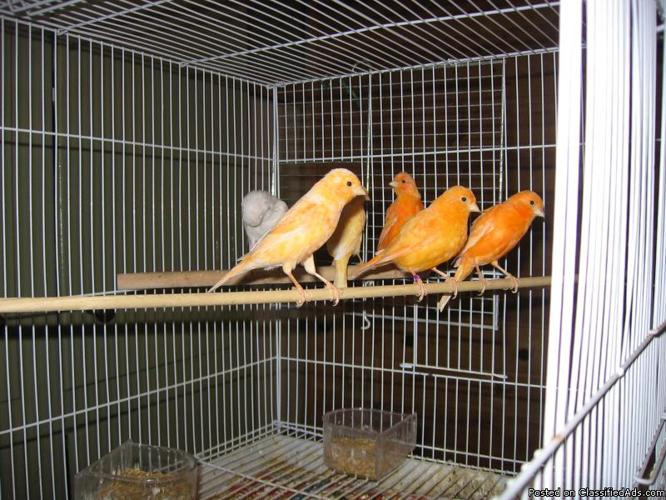 females canaries