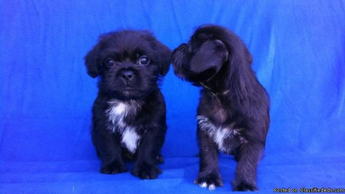 For Sale: Pug-a-poo puppies in Eagle Bend, Minnesota
