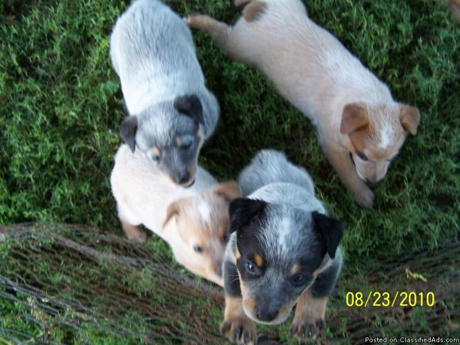 For Sale RED or BLUE Heeler puppies in Cozad, Nebraska