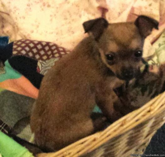 For Sale TEA CUP Female CHIHUAHUA- STORM
