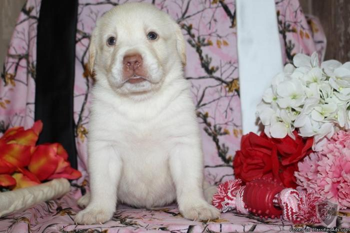 Freddie AKC Labrador