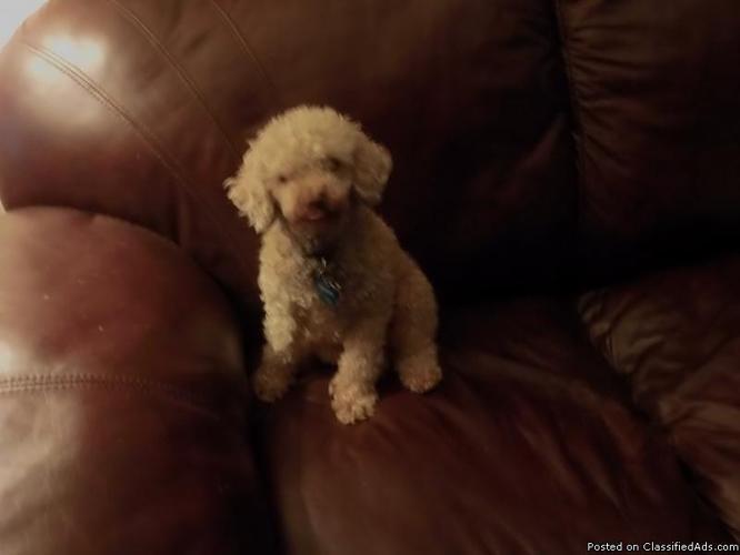FREE Apriot Miniature Poodle