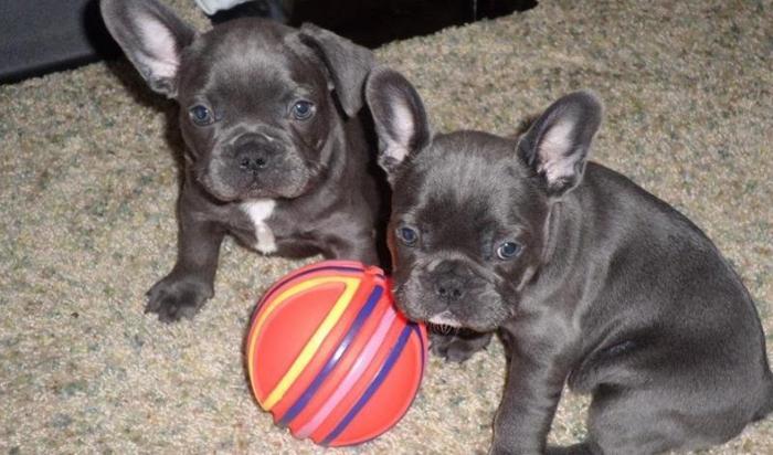 French Bulldog Puppies In Milwaukee Wisconsin Cannonadscom
