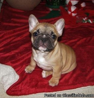 French Bulldog Puppies For Sale In Des Moines Iowa Cannonadscom