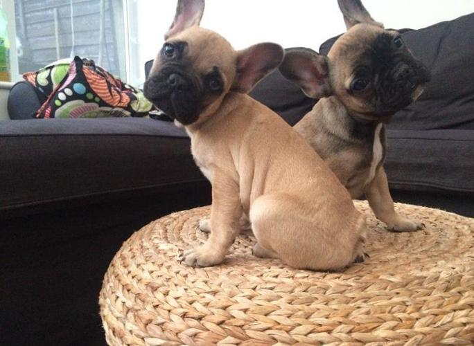 French Bulldogs Availabe Now For New Homes