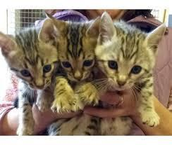 .Friendly , top quality Bengal cubs available