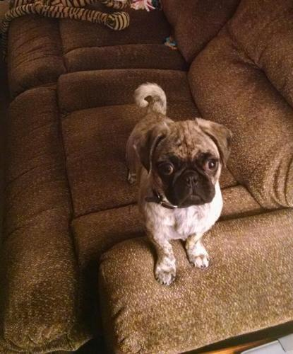 Frug 6 Month Old Puppy For Sale In White Cloud Michigan Cannonadscom