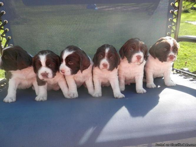 Full AKC English Springer Spaniel puppies L&W
