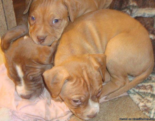 FUll Bred RED nose pit Bulls PUPS for sale !! :) - Price