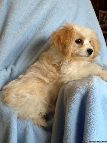 Fun Cavachon Puppies for Sale in Mason, Texas | CannonAds com