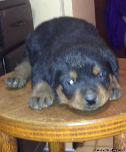 German Rottie Pup In Dinwiddie Virginia Cannonadscom