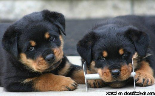German Rottweiler Puppies Price 40000 In Marana Arizona