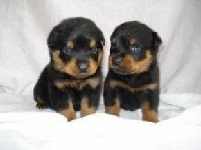 German Rottweiler Puppies available