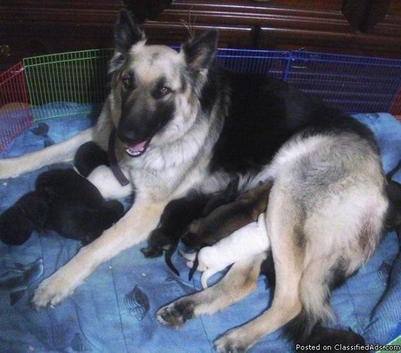 German Shepherd puppies - Price: $350 in Gloucester