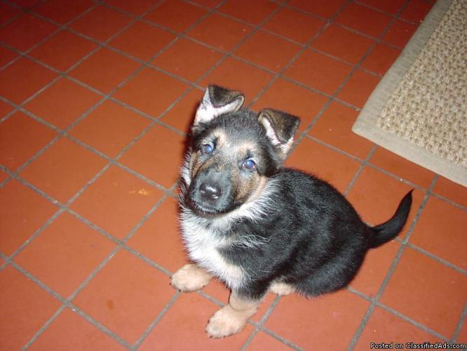German Shepherd Puppy for sale - Price: 1500 00 in Hackettstown, New
