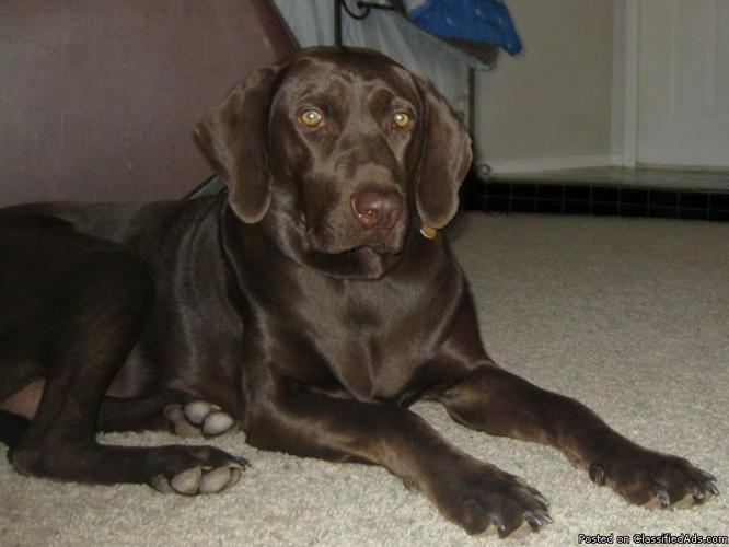 German Shorthair Pointer/Chocolate Lab mix - Price: Free in Edmond