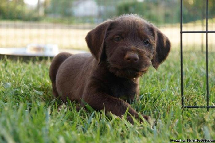 German Wire Haired Pointer Vizsla mix puppies for sale in Escondido ...
