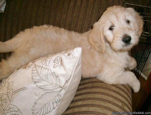 GOLDEN DOODLE PUPS F-1 ENGLISH BRED