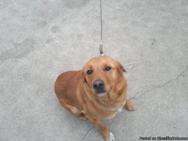 Golden Retrever Lab Mix looking for good home - Price: 50.00 (negotiable)