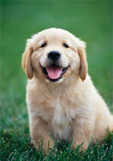 GOLDEN RETRIEVER PUPPIES in Elsie, Oregon | CannonAds com