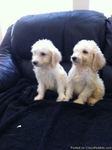 Goldendoodle Adorable White Puppies In Garland North