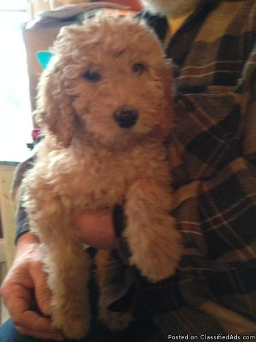 Goldendoodle And Bernedoodle Pups In Scarboro Illinois