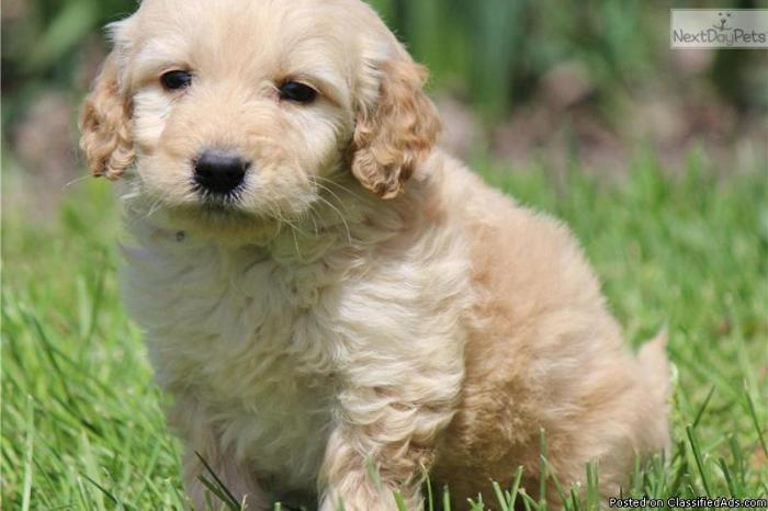 Goldendoodle Miniature Puppies! in Saginaw, Michigan