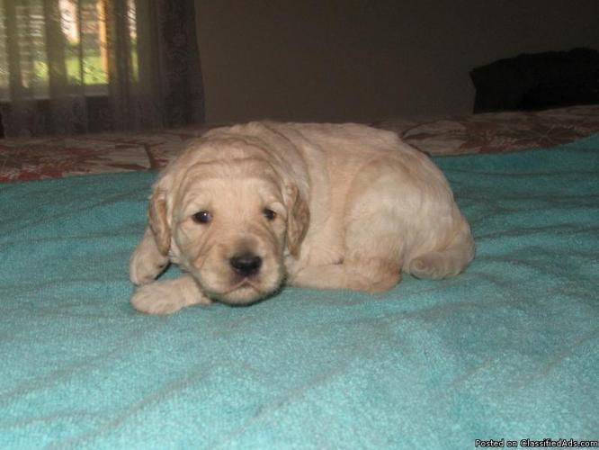 Goldendoodle Puppies 2 Left One Male One Female Price