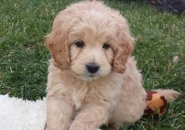 Goldendoodle Puppies For Sale Mini And Mini Petite In Toledo Ohio Cannonads Com