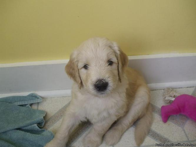 Goldendoodle Puppies for Sale - Standard - F2 - Price