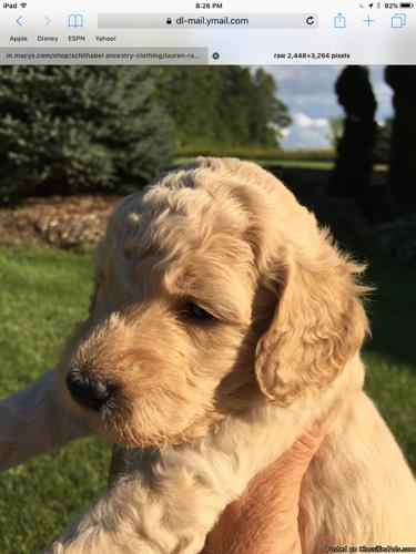 Goldendoodles and Labradoodles for sale in Juneau, Wisconsin