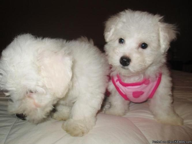 Gorgeous Bichon Poo puppies for sale !!! in Lakeland