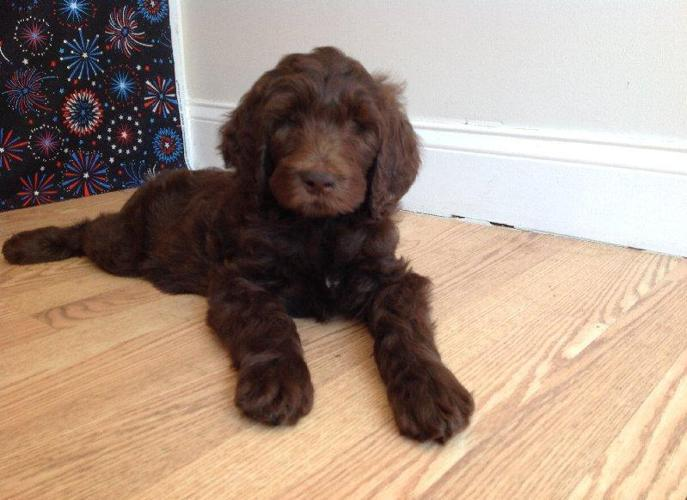 Gorgeous F1b Labradoodle Puppies For Sale In Fort Myers Florida